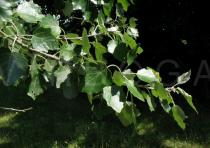 Populus x canescens - Twig upper side - Click to enlarge!