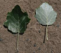 Populus x canescens - Upper and lower surface of leaf - Click to enlarge!