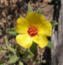 Portulaca mucronata - Flower - Click to enlarge!