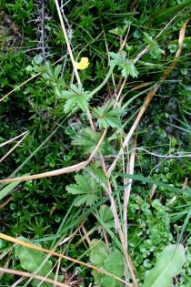Potentilla erecta - Habit - Click to enlarge!