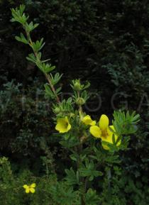 Potentilla fruticosa - Branch - Click to enlarge!