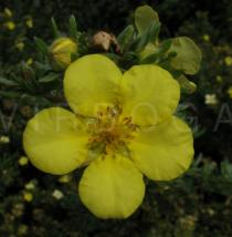 Potentilla fruticosa - Flower - Click to enlarge!
