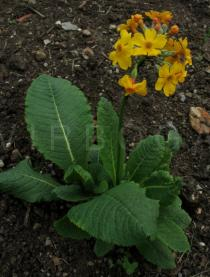 Primula chungensis - Habit - Click to enlarge!