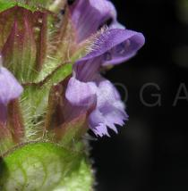 Prunella vulgaris - Flower side view - Click to enlarge!