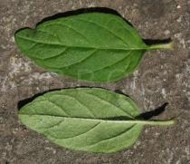 Prunella vulgaris - Upper and lower side of leaf - Click to enlarge!