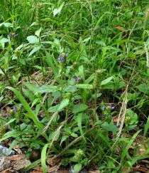 Prunella vulgaris - Habit - Click to enlarge!
