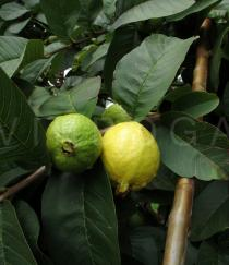 Psidium guajava - Fruits - Click to enlarge!