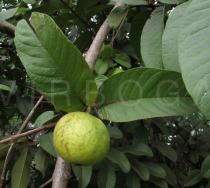 Psidium guajava - Fruit - Click to enlarge!