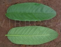 Psidium guajava - Upper and lower surface of leaves - Click to enlarge!