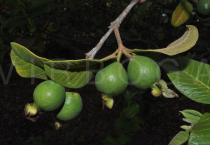 Psidium guajava - Juvenile fruits, side view - Click to enlarge!