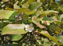 Psidium guajava - Foliage - Click to enlarge!