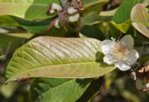 Psidium guajava - Flower and leaf - Click to enlarge!