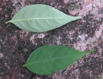 Psychotria hoffmannseggiana - Upper and lower surface of leaves - Click to enlarge!