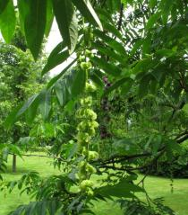 Pterocarya fraxinifolia - Inflorescences - Click to enlarge!