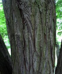 Pterocarya fraxinifolia - Bark - Click to enlarge!