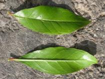 Punica granatum - Upper and lower surface of leaf - Click to enlarge!