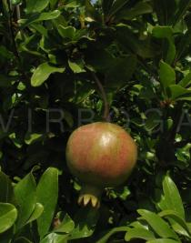 Punica granatum - Fruit - Click to enlarge!