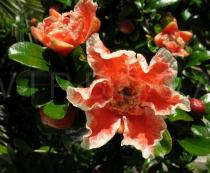 Punica granatum - Flower (ornamental breed) - Click to enlarge!