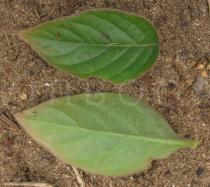 Pupalia lappacea - Upper and lower surface of leaf - Click to enlarge!