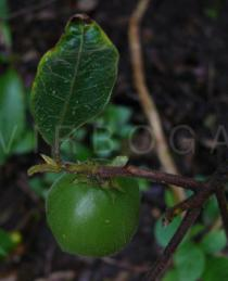 Pyrenaria menglaensis - Fruit from above - Click to enlarge!