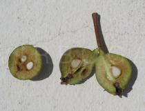 Pyrus bourgaeana - Fruit cross section - Click to enlarge!