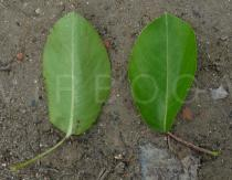 Pyrus communis - Upper and lower surface of leaf - Click to enlarge!
