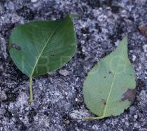 Pyrus cordata - Upper and lower surface of leaf - Click to enlarge!