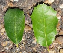Quercus coccifera - Top and lower side of leaf - Click to enlarge!