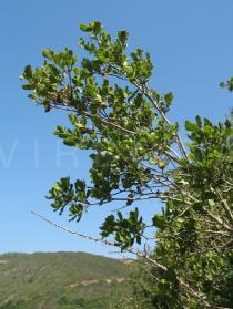Quercus coccifera - Branch - Click to enlarge!