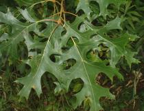 Quercus coccinea - Leaf - Click to enlarge!