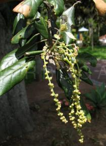 Quercus ilex - Catkins - Click to enlarge!