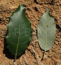 Quercus ilex - Upper and lower surface of leaf - Click to enlarge!