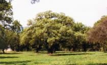 Quercus ithaburensis - Habit - Click to enlarge!