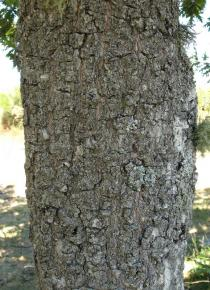 Quercus pyrenaica - Bark - Click to enlarge!