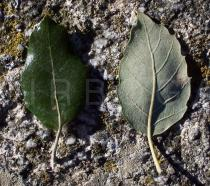 Quercus suber - Upper and lower surface of leaf - Click to enlarge!