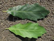 Quercus x hispanica - Upper and lower surface of leaf - Click to enlarge!