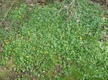Ranunculus ficaria - Habit - Click to enlarge!
