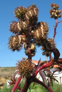 Ricinus communis - Infructescence - Click to enlarge!