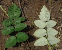 Rubus niveus - Upper and lower surface of leaf - Click to enlarge!