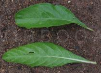 Ruellia tuberosa - Upper and lower surface of leaf - Click to enlarge!