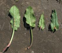 Rumex acetosa - Upper and lower surfaces of leaves - Click to enlarge!