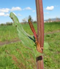 Rumex acetosa - Leaf insertion - Click to enlarge!
