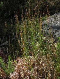 Rumex acetosella - Habit - Click to enlarge!