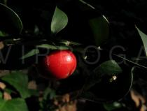 Ruscus aculeatus - Fruit - Click to enlarge!