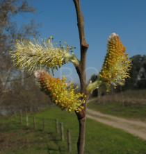 Salix atrocinerea - Male catkins - Click to enlarge!