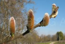 Salix atrocinerea - Developing catkins - Click to enlarge!