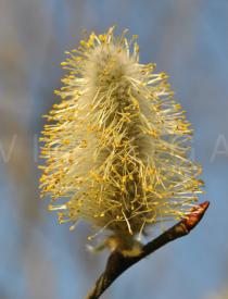 Salix daphnoides - Male catkin - Click to enlarge!