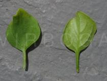 Salpichroa origanifolia - Upper and lower surface of leaf - Click to enlarge!