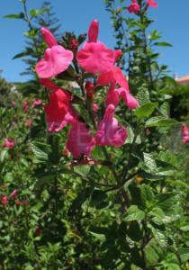 Salvia microphylla - Inflorescence - Click to enlarge!