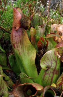 Sarracenia purpurea - Pitcher - Click to enlarge!